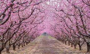 arbres florits (1)